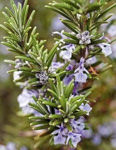 rosemary_camphor__large