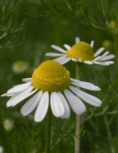 chamomile_german__large